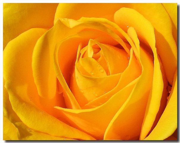 yellow rose flowers images. Valentine Flowers